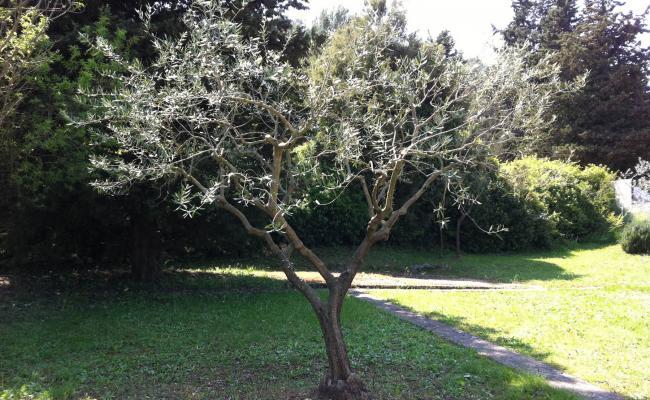 Taille d'olivier sur la Côte d'Azur