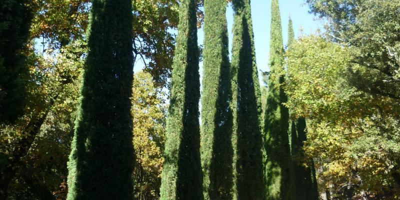 Taille de cyprès au Domaine des Rabelles - Villecroze (83)
