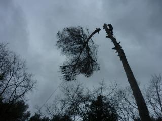 Abattre un pin en hauteur - Var Elagage
