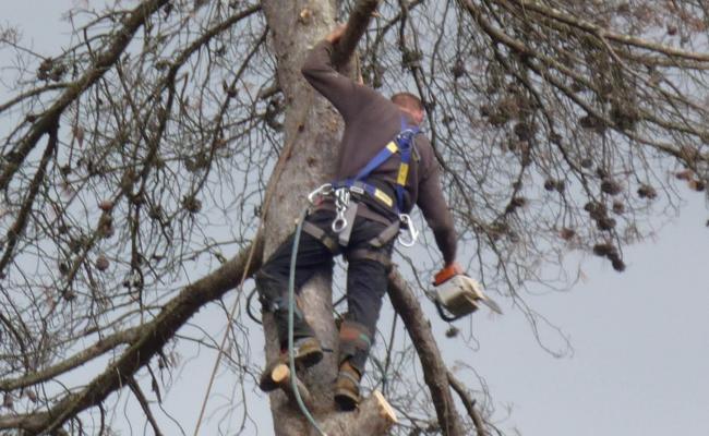 Abattage de pins dans le Var