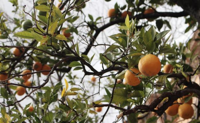 Taille d'arbre fruitier près de Draguignan et Fréjus